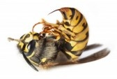 7952251-dead-stinging-bee-or-wasp-wing-animal-insect-macro