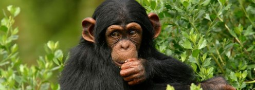 This image has an empty alt attribute; its file name is chimpanzee_wide.jpg