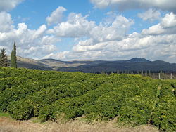 250px-Lemon_Orchard_in_the_Galilee_by_David_Shankbone