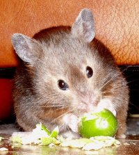 Cashew_sable_syrian_hamster
