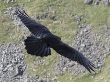 800px-Carrion_crow_in_flight