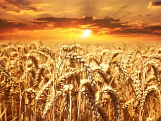 wheat-field-640960_960_720