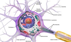 Neuron_Cell_Body